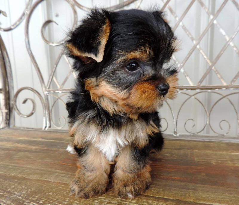 yorkie breeders in colorado colorado cute teacup yorkie puppies available for adoption 9155