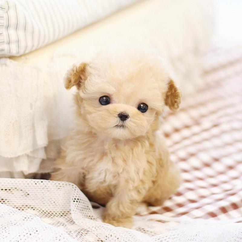 Teacup Poodle Puppies For Sale Text (713) 510-3006