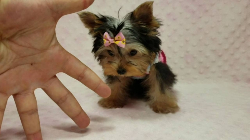 Colorado Angelic Teacup Yorkie Puppies Pets And Animals In