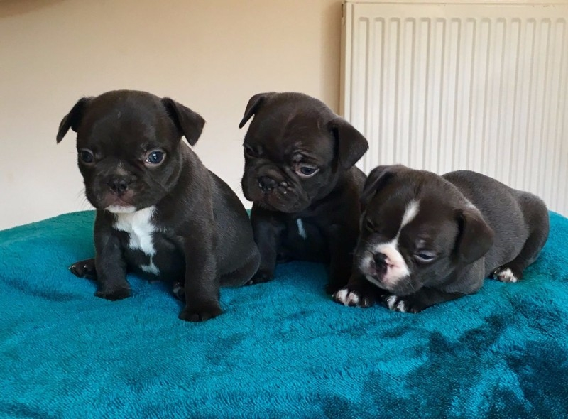 Colorado Adorable French bulldog puppies for rehoming : Pets