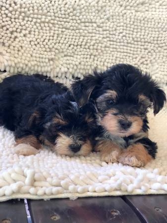 Yorkie puppies need a good homes.