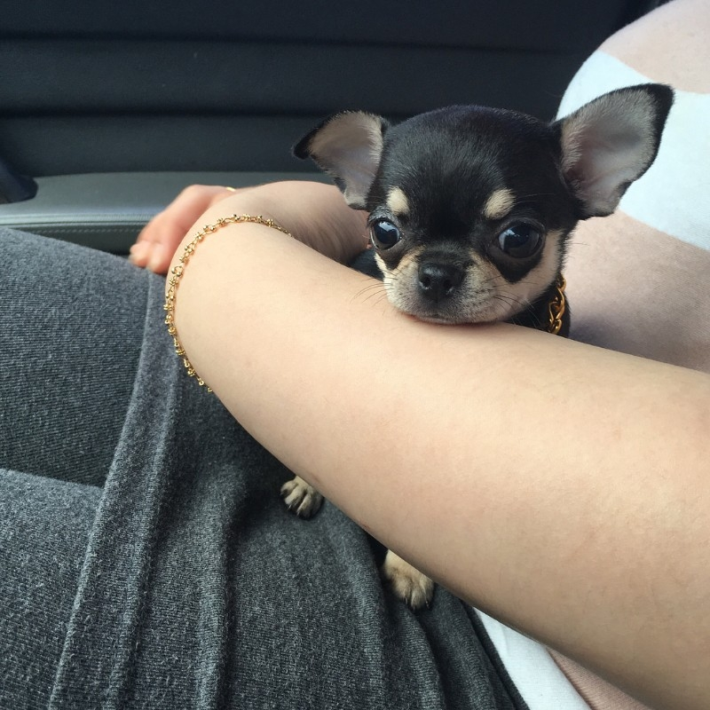Chihuahua Puppies For Sale Text (713) 510-3006